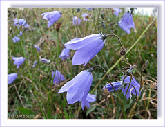 Grasklokjes ( Annieta  Off / On) Tags: blue oktober holiday nature canon germany deutschland this vacances vakantie is blauw picture natuur bleu using illegal wildflower without allemagne permission allrightsreserved duitsland sauerland hennesee powershots2is supershot annieta grasklokje wildebloem bl mielingen