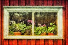 Autumn (Bozze) Tags: red window barn geranium höst pelargonia wwwoppnahorisonterse pelargonior