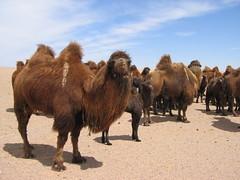 Camels in the Gobi desert, Mongolia (mbphillips) Tags: nomad wildlife animal mongolia モンゴル 몽골 蒙古 asia アジア 아시아 亚洲 亞洲 mbphillips canonixus400 geotagged photojournalism photojournalist