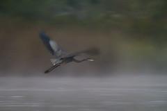 Blue Dawn (gseloff) Tags: nature birds texas birding pasadena greatblueheron kayakphotography gseloff horsepenbayou galvestonbayestuary