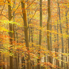 Autumn! (Alan MacKenzie) Tags: autumn trees red england fall leaves yellow woodland fiery fristonforest