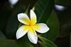 Plumeria Rubra (heartinhawaii) Tags: flower macro nature hawaii flora plumeria kauai frangipani tropicalflower whiteandyellow kauaiinoctober