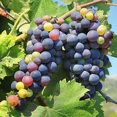 Grapes of the vineyards along the mountain slopes of Cinque Terre (Bn) Tags: ocean blue trees houses sea summer vacation sky italy holiday tree green church saint rural walking topf50 mediterranean riviera italia village view wine hiking liguria olive culture medieval peter trail vineyards serenity grapes sweat di vegetation terre vista civilization hiker gras viewpoint picturesque cinque adriatic vino italianriviera orchards quietness 200m agriturismo wijn levante cliffside druiven ligurian hightrail caruggi 50faves abovesealevel legnaro