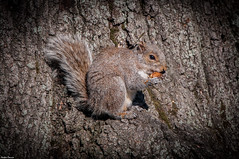 New York, Central Park Squirrel. (Jrme Cousin) Tags: park new york city usa newyork tree brooklyn america nikon squirrel bronx manhattan united central states nikkor arbre unis 18105 ecureuil etats damerique 55300 d5000