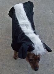 cute dogs halloween weird funny odd skunk petcostumes dogsincostumes petclothing halloween2012