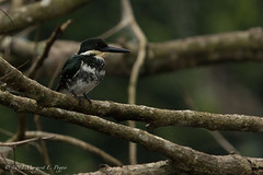Green Kingfisher (Chloroceryle americana) (ppoggio2) Tags: bird costarica tortuguero greenkingfisher chloroceryleamericana provinceoflimon