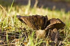 Het Leen, Eeklo (Tetramesh) Tags: tetramesh belgië belgien belgique belgium eeklo oostvlaanderen vlaanderen eastflanders flanders meetjesland hetleen herfst autumn mushroom fungi paddestoelen paddestoel