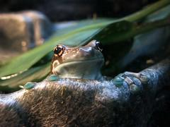 Prospect Park Zoo (S_Crews) Tags: newyork brooklyn zoo prospectpark frog treefrog herp prospectparkzoo hylidae anuran trachycephalusresinifictrix trachycephalus amazonmilktreefrog
