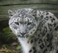 Wildlife Heritage Foundation, Kent, UK. (Kathy Tipping) Tags: cats leopard bigcats wildlifeheritagefoundation whf bigcatsanctuary snoeleopard
