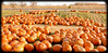Happy Halloween! (A Great Capture) Tags: ig ald ash2276 ashleyduffus happyhalloween halloween pumpkins patch whittamores farm toronto on ontario canada scarborough ashleylduffus wwwashleysphotoscom markham torontophotographer citrouille calabaza zucca カボチャ 南瓜 kürbis abóbora कद्दू cucurbita pampoen thanksgiving dynia abobora tikba pumpa kabak kuerbis or pepon pompoen kaddu lal bhopala puimcin dlaat kabocha labu isquotersquash