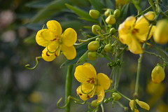Senna corymbosa (esta_ahi) Tags: espaa flores yellow spain flora flor fabaceae senna tarragona altcamp leguminosae arbusto corymbosa vilarodona  cultivadas sennacorymbosa masdenbosc