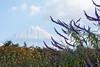 Salvia leucantha (peaceful-jp-scenery (busy)) Tags: park sony salvialeucantha 日本 saiko 西湖 amount 山梨 富士五湖 fuji5lakes α700 dslra700 サルビア・レウカンサ sal70300g sony70300g