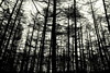 (H L Gilholm) Tags: wood trees blackandwhite nature lines forest outside woods pattern natural negativespace lowangle repetative manvnature