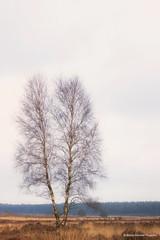 2 out of 1 (BiancaValkenierPhotoArt) Tags: trees nature landscape arnhem nederland birch veluwe veluwezoom gelderland rozendaal