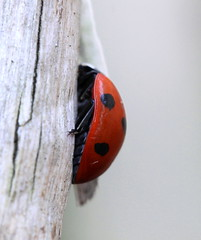 ladybird in winter ( 06-01-2013 ) (bugman11) Tags: winter macro nature animal animals fauna canon bug insect beetle nederland thenetherlands insects bugs ladybird ladybug ladybugs beetles 1001nights ladybirds thegalaxy platinumheartaward 100mm28lmacro 1001nightsmagiccity mygearandme mygearandmepremium mygearandmebronze mygearandmesilver ringexcellence allnaturesparadise rememberthatmomentlevel1