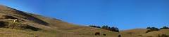garin-cow-hill-panorama (caligula1995) Tags: california winter panorama afternoon cattle hills hayward hillside 2012 garin ebparksok