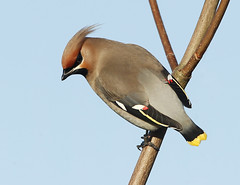 Waxwing (Robert Horne Wildlife Photography) Tags: canon eastsussex bohemian waxwing ringed lewes bombycillagarrulus