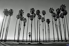 Vertical lines #1 (Eric Lassiter) Tags: blackandwhite santabarbara nikefex mexicanfanpalms