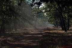 An early morning safari (Quasar1270) Tags: india tigers maharashtra tadoba royalbengaltiger tigersinthewild