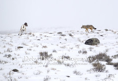 Coyote hunting lamb (Deby Dixon) Tags: coyote travel tourism nature photography kill wildlife chase lamb yellowstonenationalpark yellowstone prey wyoming capture predator hunt bighornsheep nikon500mm debydixonphotography truewildlifemoment incredibleevent