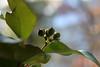 Ivy Fruit (gripspix (OFF)) Tags: winter fruit ivy frucht giftig efeu heilpflanze immergrün medicalplant poisnous 20130123 hdereahelix