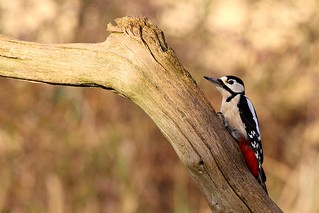 Great Spotted Woodpecker - RSPB Sandy Lodge - Explored