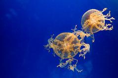 Osaka Aquarium Kaiyukan (when I'm on vacation) Tags: fish water japan japanese aquarium salt jelly osaka kaiyukan