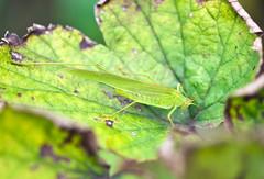 DSC_7607b (aeschylus18917) Tags: macro green nature japan insect tokyo nikon g micro   nikkor katydid f28 vr 105mm 105mmf28 105mmf28gvrmicro d700 nikkor105mmf28gvrmicro  nikond700 danielruyle aeschylus18917 danruyle druyle