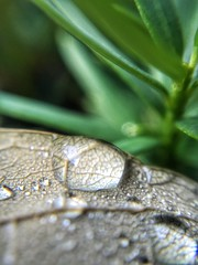 Wet Leaf and Pine (ikilledkenny1029) Tags: closeup macro water drop droplet nature