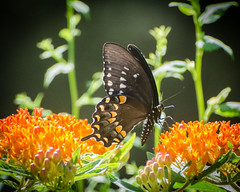 Spicebush Swallowtail on Butterfly Weed (hickamorehackamore) Tags: 2016 asclepias asclepiastuberosa butterflyweed ct connecticut haddam nwf swallowtail backyard butterfly certified habitat native summer wildlife spicebushswallowtail