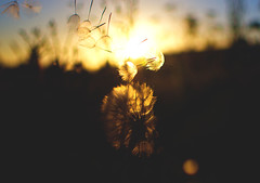 wishing for more nights like this! (Casey Louise Photography) Tags: sunset sunlight oregon prime evening weeds nikon dandelion pnw breezy dandy goldenhour nikonian