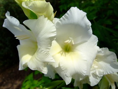 Gladiolus (yewchan) Tags: flower flowers garden gardening blooms blossoms nature beauty beautiful colours colors flora vibrant lovely closeup gladiolus swordlily swordlilies lily lilies
