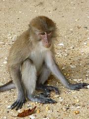 Koh Panak (Sea Kayaking), Thailand (Jan-2016) 21-043 (MistyTree Adventures) Tags: kohpanak kohpanakisland aophangnganationalpark seasia thailand phuket panasoniclumix outdoor phangngabay animal monkey macaque macaquemonkey