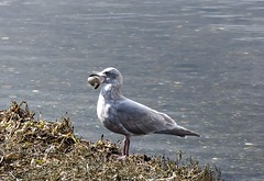 Glaucus-winged Gull (David Badke) Tags: colwood bc bird