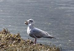 Glaucus-winged Gull (David Badke) Tags: colwood bc bird