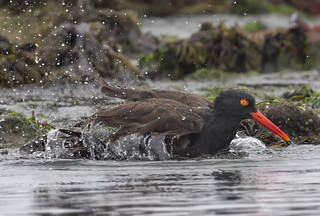 Black Oystercatcher bath