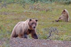 IMG_4484 (bud_marschner) Tags: denalinationalpark brownbear grizzlybear alaska
