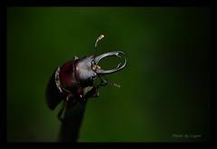 DSC_0281a 雙鉤鋸鍬形蟲 male (Logan Lai) Tags: 鍬形蟲
