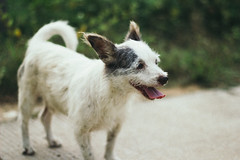 Smiling 24/7 (SerCorzo) Tags: dog perro puppy perrito animal animals sonriendo smiling happy happiness sonrisa smile feliz felicidad luz light sunset sun cute dogs bokeh