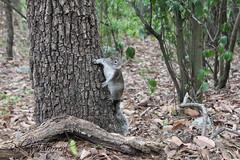 IMG_1492 Ardilla (beto25j) Tags: squirrel ardilla chipinque tree arbol montaa mountain monterrey nuevo leon mexico
