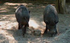 Recto-verso (Franois Tomasi) Tags: sanglier sangliers cochon sauvage nikon pov flickr touraine fort tours france cochons nature recto verso boar boars pig pigs animal animaux