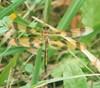 20070704 (S19) - SVWA, pond - halloween pennant (female) (sienel) Tags: 2007 ohio springvalleywildlifearea dragonfly odonata insect halloweenpennant