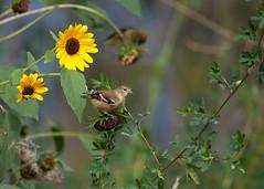 Finch44-13a (sknight56) Tags: finch flowers minnesota canon outdoor wildlife bird