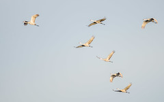 Formation (pattyg24) Tags: flock horiconmarsh sandhillcranes tamron200500mm wisconsin bird flight nature summer