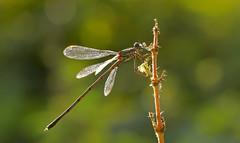 Dinner II (michel1276) Tags: dragonfly libelle tier insekt insect zweig landschaft makro outdoor bokeh licht light sun sonne september