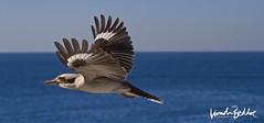 Kookaburra at Coogee (Lincoln Beddoe) Tags: bird birds birdsinflight birdsflying wings kookaburra kookaburracloseup kookaburraflying australianwildlife australianbirds birdinaseascape birdphotography ornithologist ornithology