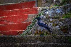 """ Im a Beauty "" (dimitrisrentis) Tags: hellas kastoria street wall stairs stone colour colourful bird beauty nature crow carrion animal macedoniagreece macedonian makedonia timeless"