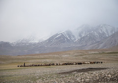Wakhi sheperd looking for grass for his sheeps and goats, Big pamir, Wakhan, Afghanistan (Eric Lafforgue) Tags: afghan afghan318 afghani afghanistan altitude badakhshan bigpamir centralasia colourimage copyspace cultures day foggy herd herder horizontal landscape largegroupofanimals livestock malongzan morning mountain mountainrange nature nomad nomadicpeople oneperson outdoors pamir pamirmountains people photography rock scenery shepherd tourism tranquilscene traveldestinations unrecognizableperson wakhancorridor wakhan afeganisto