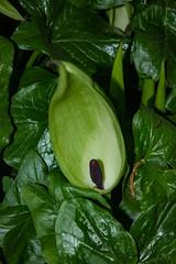 Arum maculatum (betadecay2000) Tags: arum maculatum aronstab germany deutschland coesfeld nrw wald pflanze blte giftig grn green araceae outdoor heiter