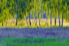 Whispering Trees (Paulina_77) Tags: icm tree trees outdoor nikon nikkor abstract art painterly impressionist zalew sulejowski intentional camera movement blur blurry blurred green yellow purple field abstraction impressionism painting experiment motion foliage sunlit forest countryside nikond90 d90 pola77 nikkor55300mm 55300 55300mm 55300mmf4556 55300mm4556 poetic artistic creativity birch landscape scene nature greenery woods meadow summer season colorful colourful vivid vibrant bold rich